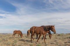 Дикие лошади в пустыне Колорадо стоковое фото rf