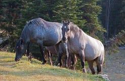 Дикие лошади - голубая Roan конематка и конематка Grulla серебряного серого цвета в ряде дикой лошади гор Pryor в Монтане США Стоковые Изображения RF