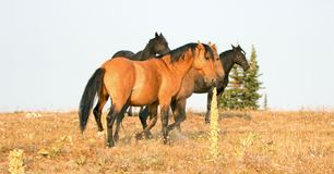 Дикие лошади - жеребцы диапазона и холостяка воюя в утре в ряде дикой лошади гор Pryor в Монтане США Стоковые Изображения RF