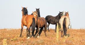 Дикие лошади - жеребцы диапазона и холостяка воюя в утре в ряде дикой лошади гор Pryor в Монтане США Стоковая Фотография
