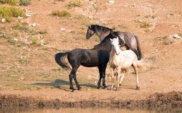 Дикие лошади/жеребцы мустанга воюя в дикой лошади гор Pryor выстраивают в ряд на государственной границе Вайоминга и Монтаны США Стоковые Изображения