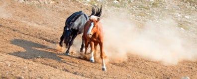 Дикие лошади/жеребцы мустанга воюя в дикой лошади гор Pryor выстраивают в ряд на государственной границе Вайоминга и Монтаны США Стоковые Фотографии RF