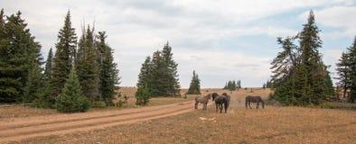 Дикие лошади/жеребцы мустанга воюя в дикой лошади гор Pryor выстраивают в ряд на государственной границе Вайоминга и Монтаны США Стоковое фото RF