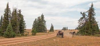 Дикие лошади/жеребцы мустанга воюя в дикой лошади гор Pryor выстраивают в ряд на государственной границе Вайоминга и Монтаны США Стоковые Изображения RF