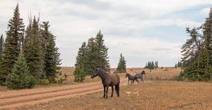 Дикие лошади/жеребцы мустанга воюя в дикой лошади гор Pryor выстраивают в ряд на государственной границе Вайоминга и Монтаны США Стоковая Фотография RF