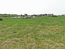 Дикие лошади и коровы в горах Стоковое Фото