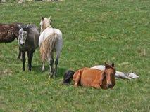 Дикие лошади и коровы в горах Стоковое фото RF