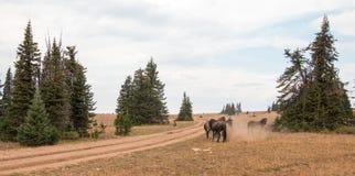 Дикие лошади/мустанги воюя в дикой лошади гор Pryor выстраивают в ряд на государственной границе Вайоминга и Монтаны США Стоковые Изображения