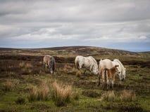 Дикие лошади на длинном Mynd, Шропшире Стоковая Фотография