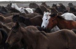 Дикие лошади на kayseri стоковое изображение rf