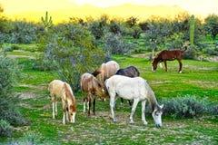 Дикие лошади расположенные на земле индейской резервации Pima-Maricopa боле стоковые фото
