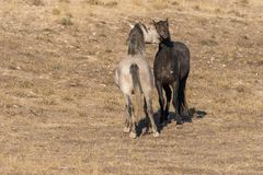 Дикие лошади смотря на в пустыне Юты Стоковое Изображение RF