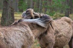 Дикие лошади с их гривы дуя в ветре стоковые изображения