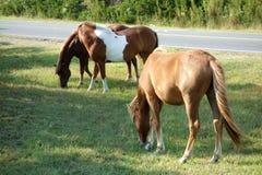 Дикие лошади Assateague пася стоковое изображение