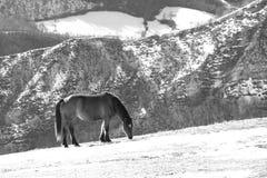 Дикие лошади pasturing na górze горы в черно-белом стоковое фото