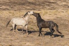 Дикие лошади Sparring в пустыне Юты Стоковая Фотография RF
