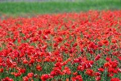 Дикие маки цветут луг весной стоковое изображение