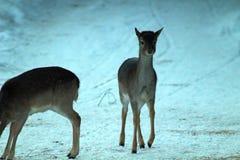 Дикие олени в зиме на территории звероловства Уникальное изображение животных в их естественной среде обитания стоковое изображение