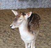 Дикие олени yong красивые в зоопарке стоковые фотографии rf