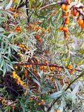 Дикие оранжевые ягоды крушины моря с листьями стоковое фото