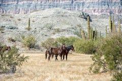 Дикие лошади в пустыне Нижней Калифорнии Стоковое Изображение