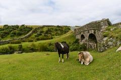 Дикие лошади в Dartmoor Стоковое Изображение RF