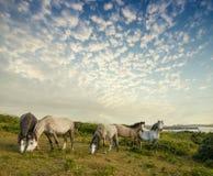 Дикие лошади и заход солнца Стоковое Изображение
