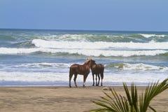 Дикие лошади Коста-Рика Стоковые Изображения