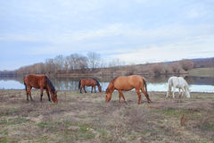 Дикие лошади на береге Стоковые Фото