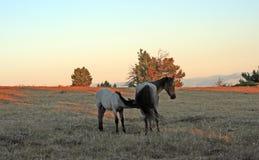 Дикие лошади на заходе солнца - голубой Roan новичок нянча его голубую roan мать конематки на Tillett Ридже в горах Pryor Монтаны Стоковые Изображения