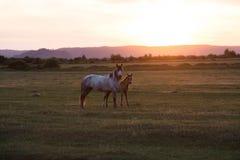 Дикие лошади на заходе солнца Стоковое Изображение