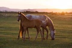 Дикие лошади на заходе солнца Стоковые Изображения
