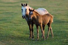 Дикие лошади на заходе солнца Стоковые Фото