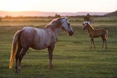 Дикие лошади на заходе солнца Стоковое фото RF