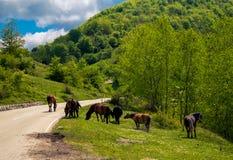 Дикие лошади на дороге Стоковая Фотография RF