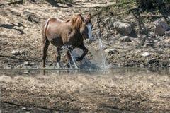 Дикие лошади на Salt River, национальном лесе Tonto Стоковые Изображения RF