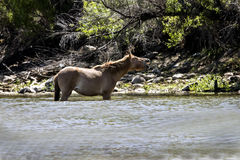 Дикие лошади на Salt River, национальном лесе Tonto Стоковая Фотография