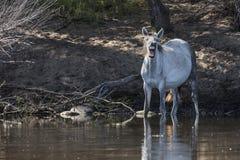 Дикие лошади на Salt River, национальном лесе Tonto Стоковое фото RF