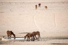Дикие лошади на Waterhole Стоковая Фотография RF