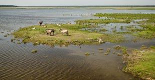 Дикие лошади около озера Engure Стоковая Фотография