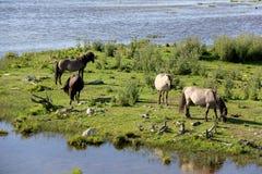 Дикие лошади пасут и едят траву в луге на озере, Латвии Стоковое фото RF