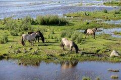 Дикие лошади пасут и едят траву в луге на озере, Латвии Стоковая Фотография