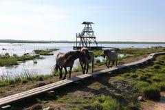 Дикие лошади пасут и едят траву в луге на озере, Латвии Стоковое Изображение RF
