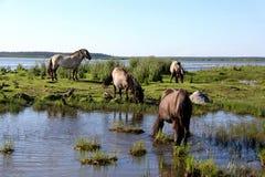 Дикие лошади пасут и едят траву в луге на озере, Латвии Стоковое Изображение