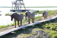 Дикие лошади пасут и едят траву в луге на озере, Латвии Стоковое Фото