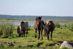 Дикие лошади пасут и едят траву в луге на озере, Латвии Стоковые Фото