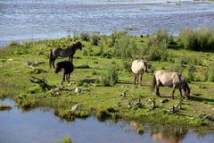 Дикие лошади пасут и едят траву в луге на озере, Латвии Стоковая Фотография RF
