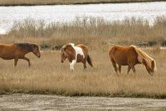Дикие лошади пасут травы болота на острове Assateague, Мэриленде Стоковое фото RF