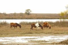 Дикие лошади пасут травы болота на острове Assateague, Мэриленде Стоковая Фотография RF