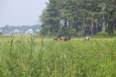 Дикие лошади пася в поле Стоковые Изображения